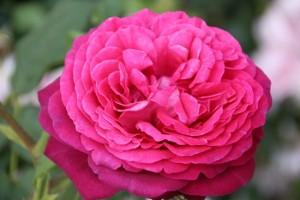 poza Tradafir grupa Thea, trandafir de colectie JW Goethe Rose, culoare roz inchis, in ghivece de 3.5 litri