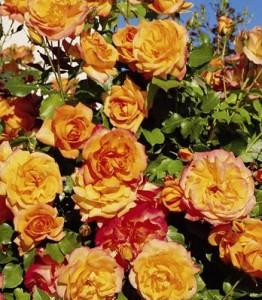 poza Tradafir grupa Thea, trandafir de colectie Sahara, culoare galben auriu, radacina ambalata in ghivece de 3.5 litri