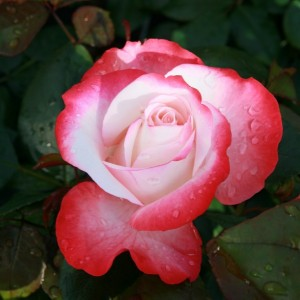 poza Tradafir grupa Thea, trandafir de colectie Heimatmelodie, culoare roz inchis cu alb, in ghivece de 3 litri