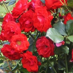 poza Tradafir grupa Floribunda, trandafir de colectie Montana, culoare rosie,  in ghivece de 3.5 litri