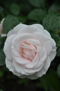 Poza Tradafir pitic. trandafir de colectie Aspirin. Poza 9006