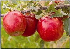 poza Meri soiul 'Fuji'. Puieti pomi fructiferi altoiti, cu radacina ambalata.