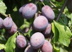 poza Pruni soiul 'Agen'. Puieti pomi fructiferi  altoiti, cu radacina ambalata.