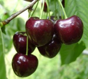 poza Pomi fructiferi Ciresi soiul `Kordia`. Puieti fructiferi altoiti, radacina ambalata.