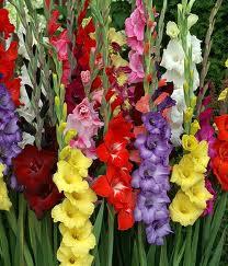poza Bulbi flori de primavara Gladiole soiuri mixte, 5 bulbi/pachet