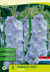 poza Bulbi de primavara Gladiole soiul `Video`, 5 bulbi/pachet