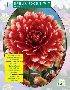poza Bulbi de flori de gradina Dalie `Red and White` (dalia) , 1 radacina / pachet