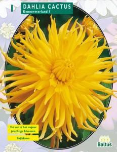 poza Bulbi de primavara Dalii `Cactus Kennemerland`, galbene ( dalia ) , 1 radacina / pachet