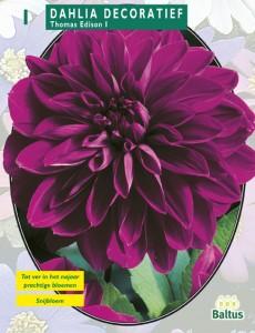 poza Bulbi flori primavara Dalia `Thomas Edison`, 1 radacina / pachet