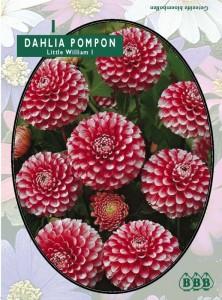 poza Bulbi flori primavara Dalii pampon `Little William`  (dalia) , 1 radacina / pachet