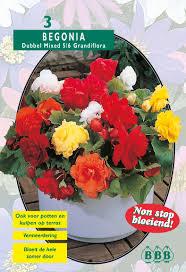 poza Bulbi primavara Begonia flori duble, 3 bulbi / pachet