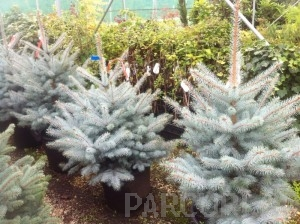 poza Arbori rasinosi PICEA PUNGENS EDITH  MOLID ARGINTIU, h-80-100 cm