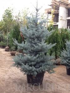 poza Arbori rasinosi PICEA PUNGENS / MOLID ARGINTIU h=175-200 cm