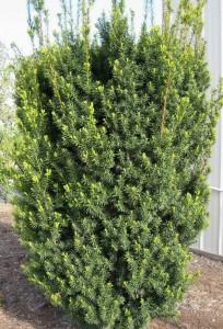 poza Arbori rasinosi TAXUS X MEDIA HICKSII / TISA h=175/200 cm