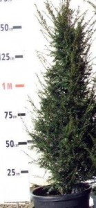 Poza Arbori rasinosi TAXUS BACCATA  h=80/100 cm. Poza 9200