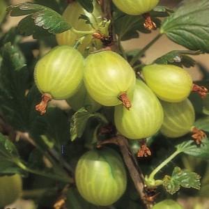 poza Arbusti fructiferi Agris alb, radacina ambalata.