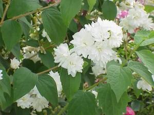 poza Arbusti parfumati Philadelphus virginalis (iasomie) h=40-60 cm ghiveci 5 litri