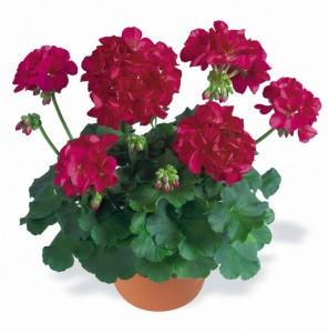 poza Plante de balcon muscate Pelargonium zonale Indigo Sky, mov-violet , ghiv 10 cm