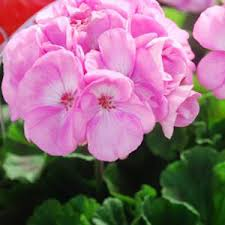 poza Plante de balcon muscate Pelargonium zonale Rose Pink, ghiv 10 cm