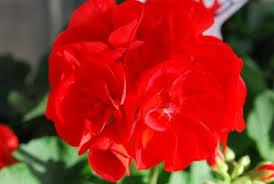 poza Plante de balcon muscate Pelargonium zonale Scarlet, rosu deschis, ghiv 10 cm