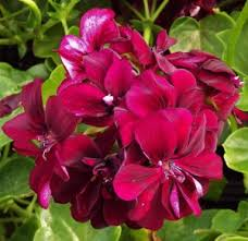 poza Plante de balcon muscate Pelargonium zonale Merlot, mov-rubiniu, ghiv 10 cm