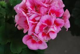 poza Plante de balcon muscate Pelargonium zonale Surviv. Pink Mega Splas, roz cucentrul roz inchis, ghiv 10 cm