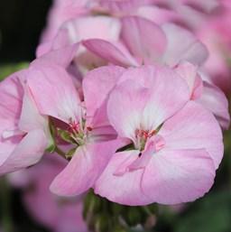 poza Plante de balcon muscate Pelargonium Baby Face,,roz deschis, ghiv 10 cm