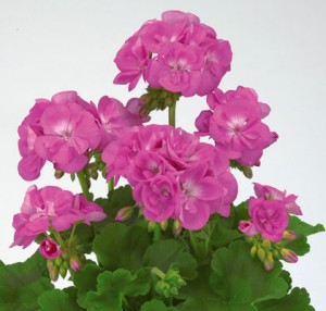 poza Plante de balcon muscate Pelargonium zonale Lavender, culoare lavanda, ghiv 10 cm