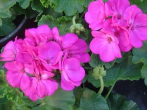 poza Plante de balcon muscate curgatoare cu floare dubla Atlantic Violet, ghiv 10 cm