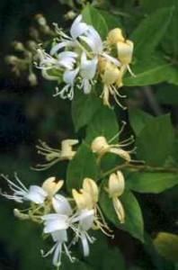 poza Planta parfumata cataratoare Mana Maicii Domnului (Lonicera japonica Halliana) ghiveci 3-5 litri, h=80-100 cm