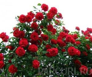 poza TRANDAFIRI URCATORI h=25m planta la ghiveci de 5 litri, flori rosii