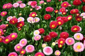 poza Flori de gradina bienale Bellis perennis mix/ Paralute Flori de gradina la ghivece de 9 cm