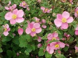 poza Flori perene 'Anemone Rosenchale', floare roz,  ghiveci 15 cm