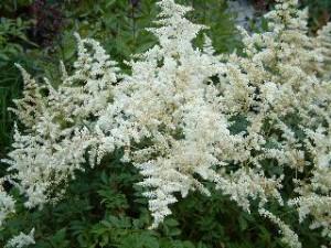 poza Flori de gradina perene ASTILBE japonica 'Avalanche,' culoare alba