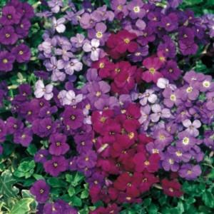 poza Flori de gradina perene AUBRIETA / `AUBRIETA mix`
