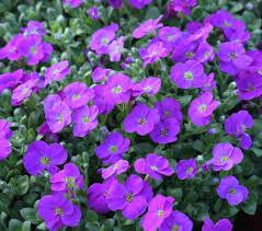 poza Flori de gradina perene Aubrieta Kittle Blue, culoare albastru