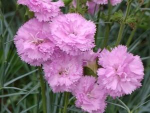 poza Flori de gradina perene GAROFITE / Dianthus `Rose de Mai`
