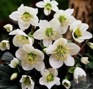 poza Flori de gradina perene HELLEBORUS NIGER `CRISTMAS CAROL`GHIV diam 12 cm