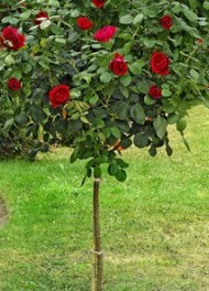 poza Trandafiri altoiti pe picior h=1,2-1,3 m culoare rosu la ghiveci de 5 litri