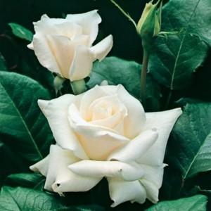 poza Trandafir de gradina,  Polyantha `White`