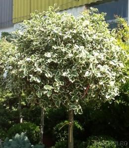 poza Arbust frunze persistente ILEX AQUIFOLIUM ARGENTEOMARGINATA ghiveci 25-.30 litri, bila pe tulpina, diam 30-40 cm