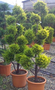poza Arbusti forme tunse PAMPON / CUPRESSOCYPARIS LEYLANDII EXCALIBUR GOLD  ghiveci 30 litri, h=140-160cm