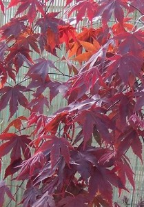 poza Artar japonez ACER PALMATUM BLOODGOOD ghiveci 5 litri, h=60-80 cm