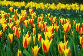 poza Bulbi de lalele Giuseppe Verdi,  culoare galbena cu dungi rosii, 7  buc/punga
