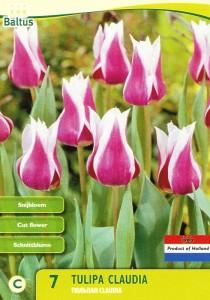 poza Bulbi de lalele Claudia. 7 buc/punga, culoare mov cu alba, grupa Liliflora