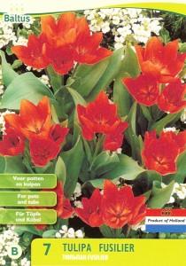 poza Bulbi de lalele Fusilier 7 buc/punga, culoare rosie