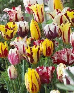 poza Bulbi de lalele grupa Rembrand, Mix, culori diferite, 5 buc/punga