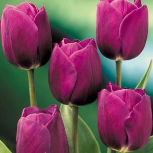 poza Bulbi de lalele Purple Prince, 7 buc/punga, culoare mov