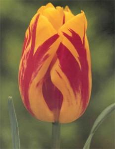 poza Bulbi de lalele Wahington  7 buc/punga, culoare galben cu rosu, superbe