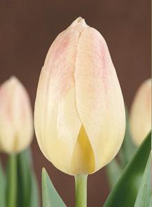 poza Bulbi de lalele Winterberg  7 buc/punga, culoare crem